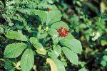 panax ginseng feuilles et fleurs.jpg