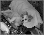 Les Huiles essentielles pour usage vétérinaire
