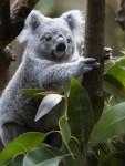 koala acheté.jpg