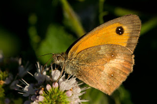 Papillon satyre tueur de menthes