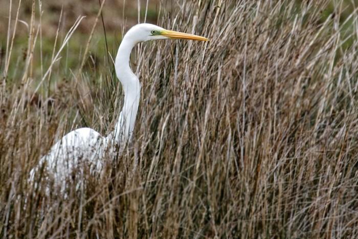 Grande aigrette dans la réserve ornithologique du Teich