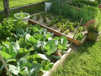 organic vegetable garden in raised bed
