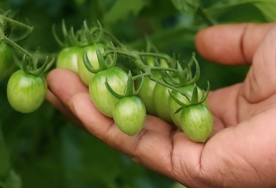 hand holding tomatoes on the vine