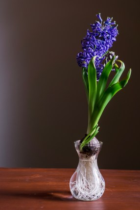Blue Hyacinth © 2019 ericarobbin.com | All rights reserved.