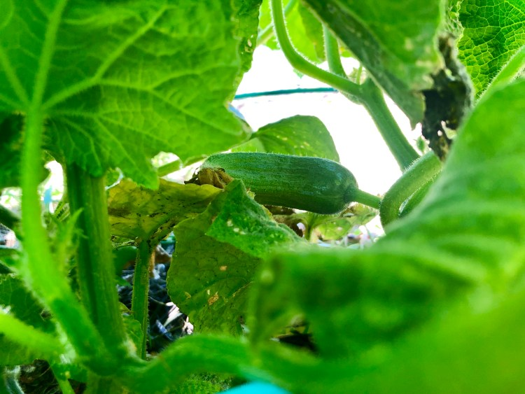 Garden Japanese Cucumber © 2019 ericarobbin.com | All rights reserved.