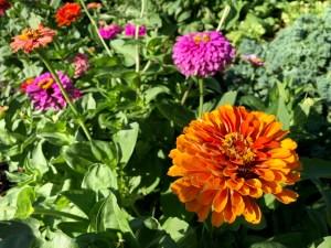Garden Orange and Pink Zinnias