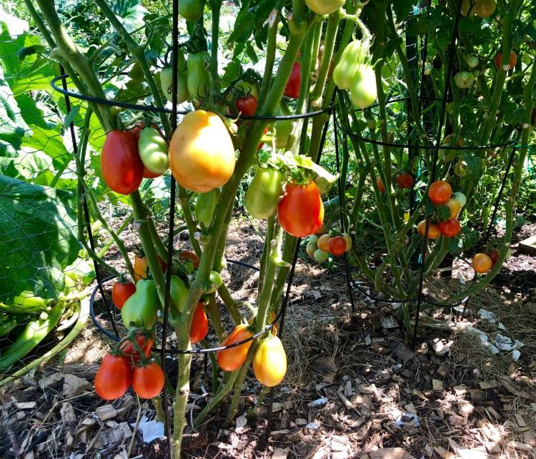 Garden Tomatoes   Erica Robbin
