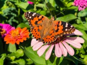 Black and Orange Butterfly on Light Pink Flower | Erica Robbin