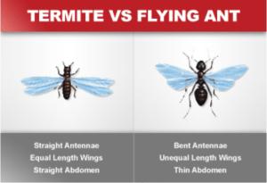 Termite VS Flying Ant Orkin