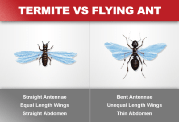 Termite VS Flying Ant Orkin | Erica Robbin