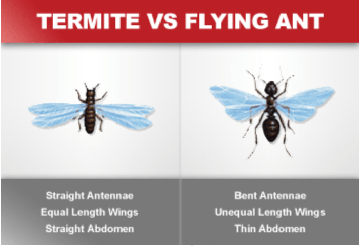 Termite VS Flying Ant Orkin | Erica Robbin