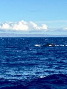 Blue Whales Breeching, Maui, Hawaii   Erica Robbin