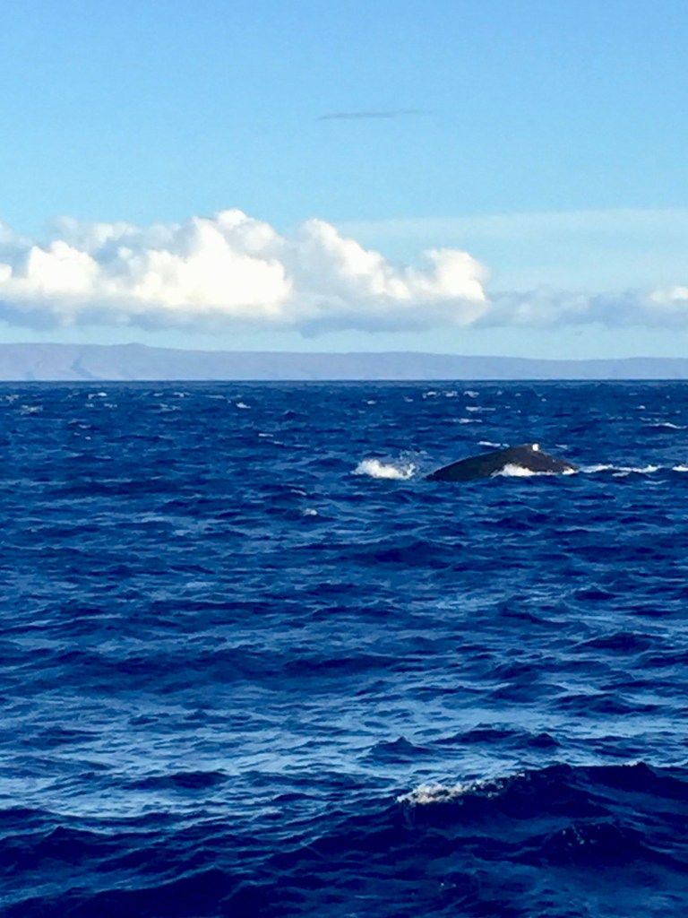 Blue Whales Breeching | Erica Robbin