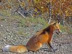 Red Fox in Denali National Park