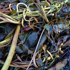 Kelp composition #3