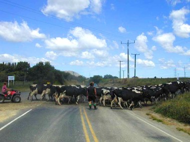 800x600_cattle