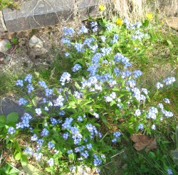 ever expanding forget me nots