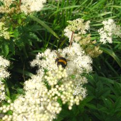 tumbling and bumbling on meadowsweet