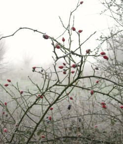 a tangle of rosehips