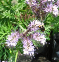 white bottomed buzzy bee