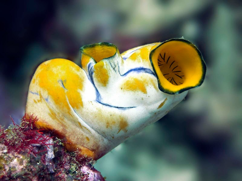 Sea squirt: an animal that 'eats its own brain' after it no longer needs to move.