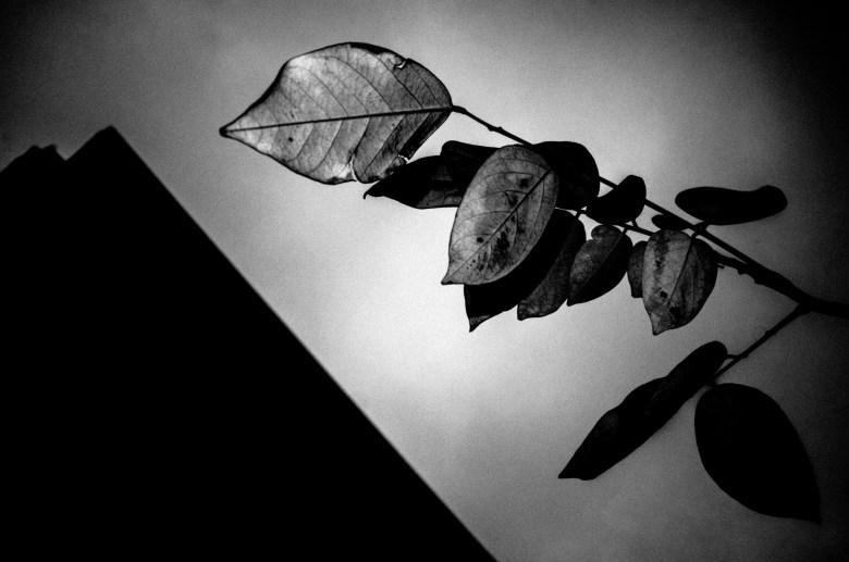 Diagonal leaf, black and white. Hanoi, 2017.