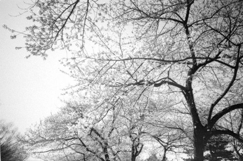 Cherry blossom. Seoul, 2013.