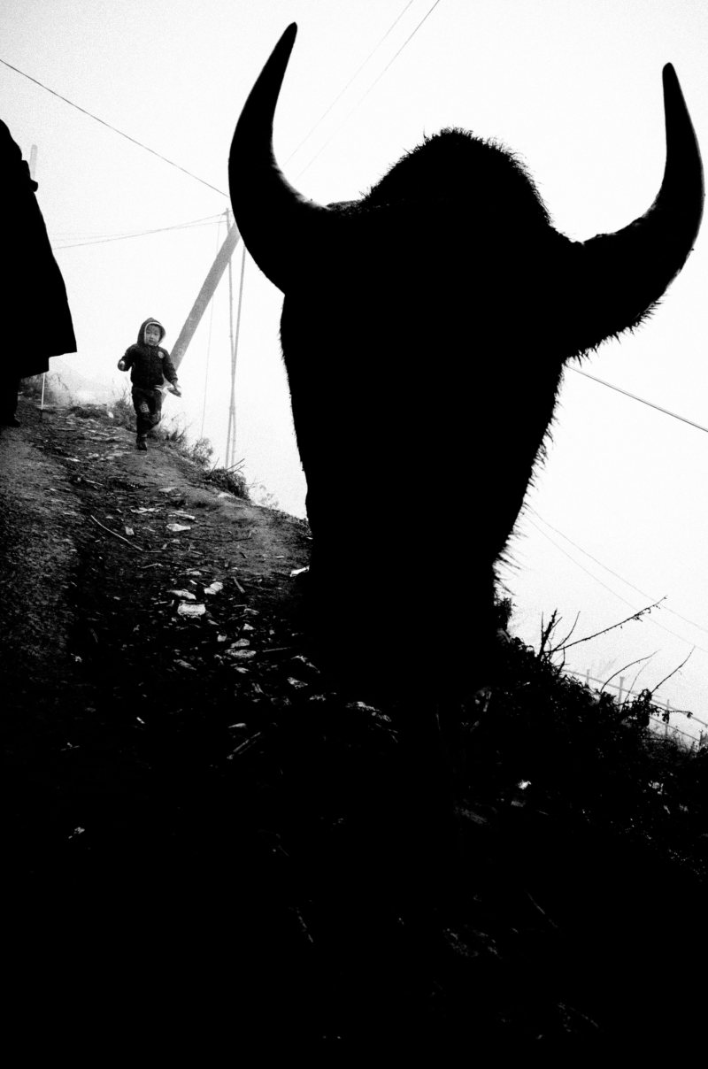 "The devil silhouette of the bull ""about to"" collide directly with you. The effect of shooting head-on with a wide-angle 28mm lens."