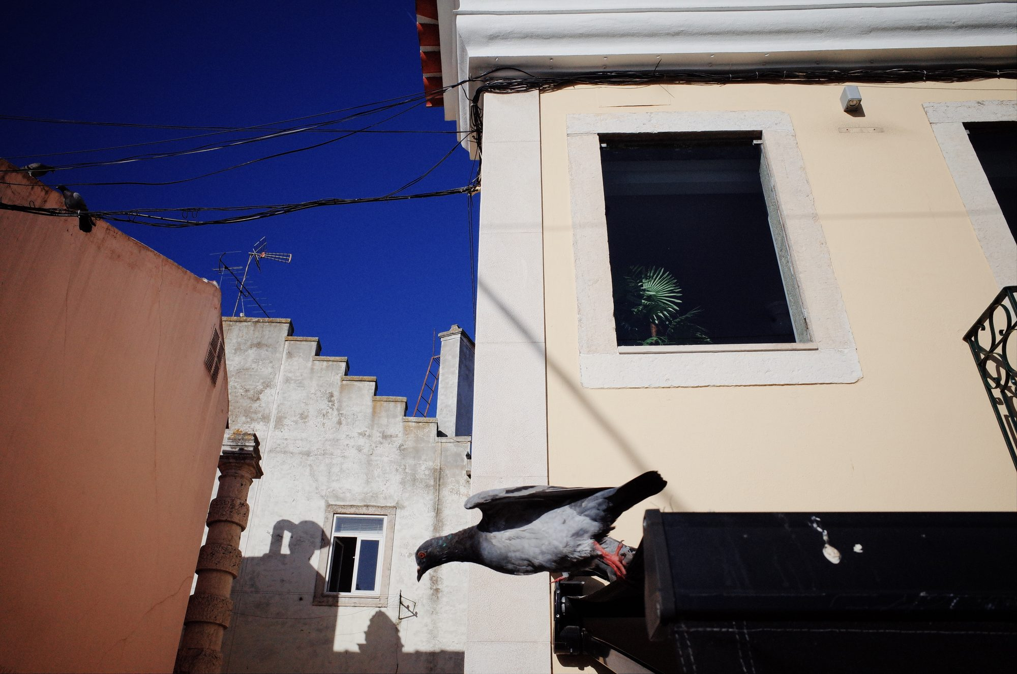 Pigeon diving. Belen, 2018