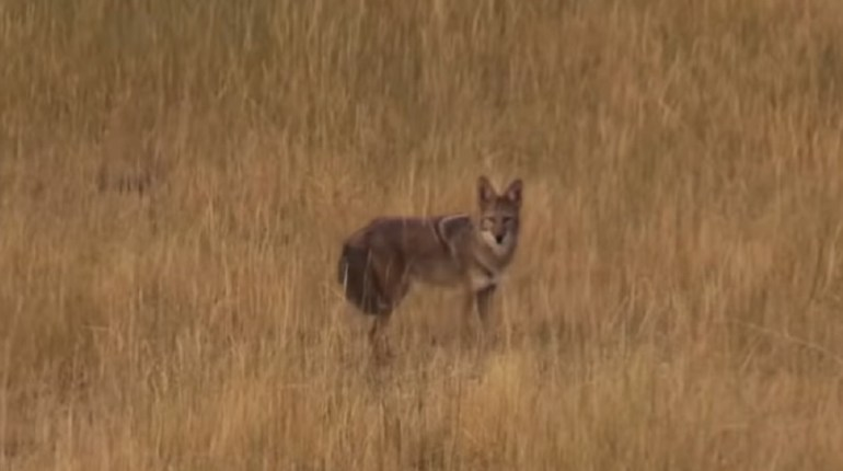 coyote hunts