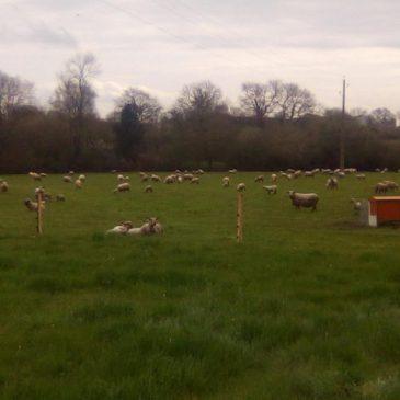 A la découverte de notre producteur partenaire d'agneau bio