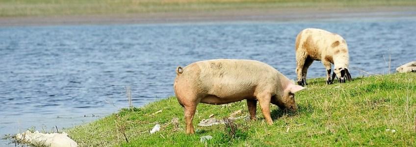 A la découverte de notre producteur partenaire de porc