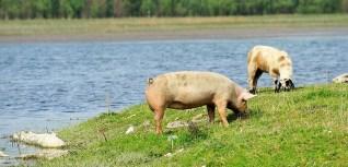 colis de viande porc