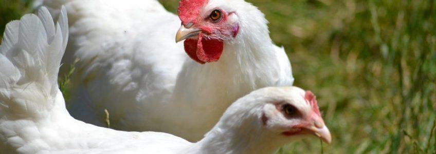 La poularde, un mets hors du commun spécialement consommé durant les fêtes