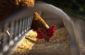 L'autonomie alimentaire d'un élevage pour un poulet de qualité
