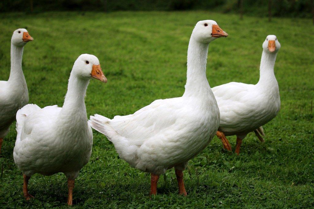 Découvrez l'élevage d'oies fermières de Christophe Bellanger