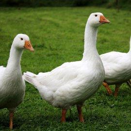 La Ferme de Laurière, un élevage d'Oies Fermières Label Rouge