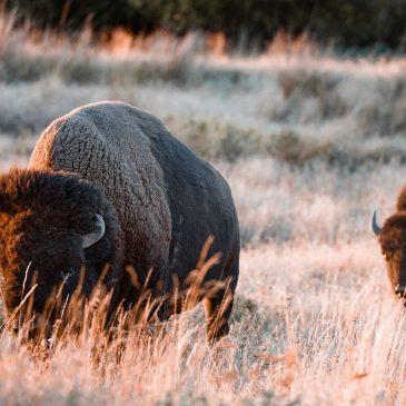 La viande de bison, une viande tendre à forte densité nutritionnelle