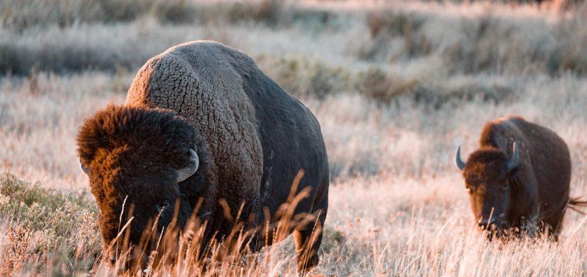 viande de bison