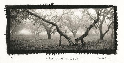 "©Chris McCaw ""Old Tree Split from a Heavy Crop, Manteca, CA, 2002"""