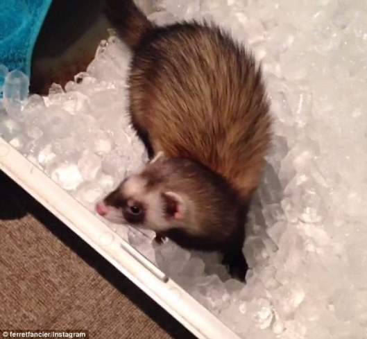 3d09ce5500000578-4211144-a_ferret_hangs_out_in_an_ice_bucket_to_stop_it_overheating_on_a_-a-11_1486727947888