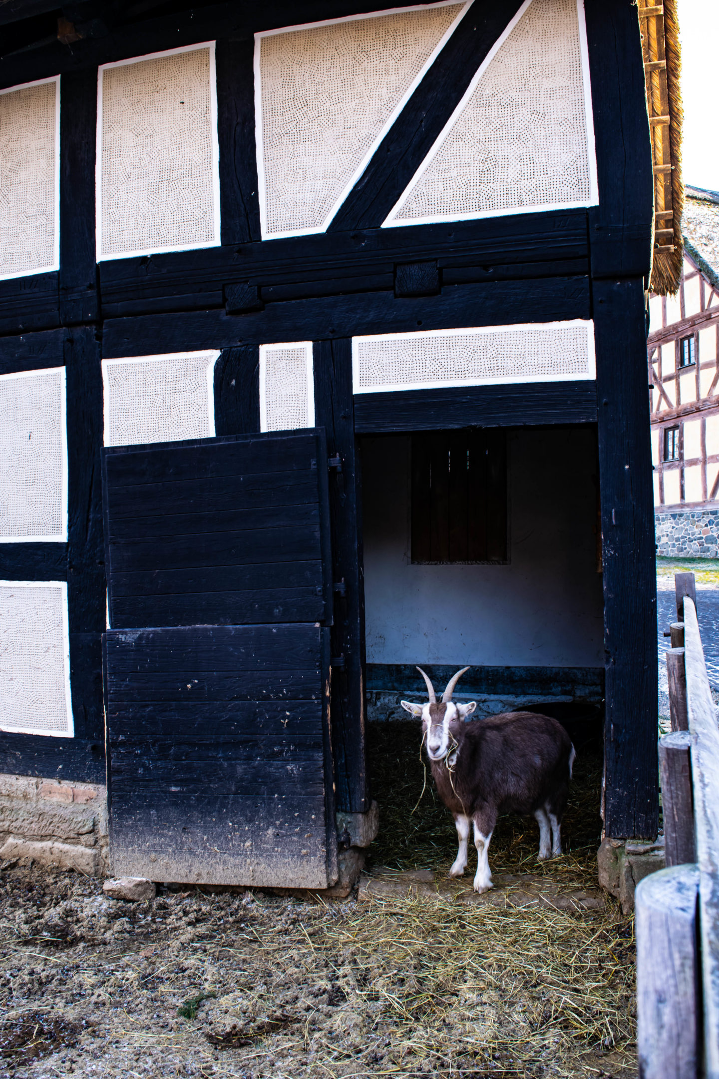 A Thuringian goat completely uninterested in getting its photo taken.
