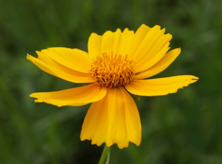 Coreopsis at Fenner Nature Center, June 2015