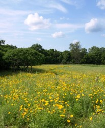 Native wildflowers at Fenner Nature Center, June 2015