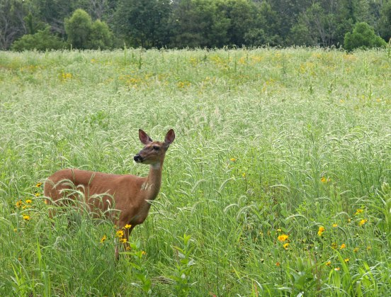 Whitetail deer at Fenner Nature Center, June 2015