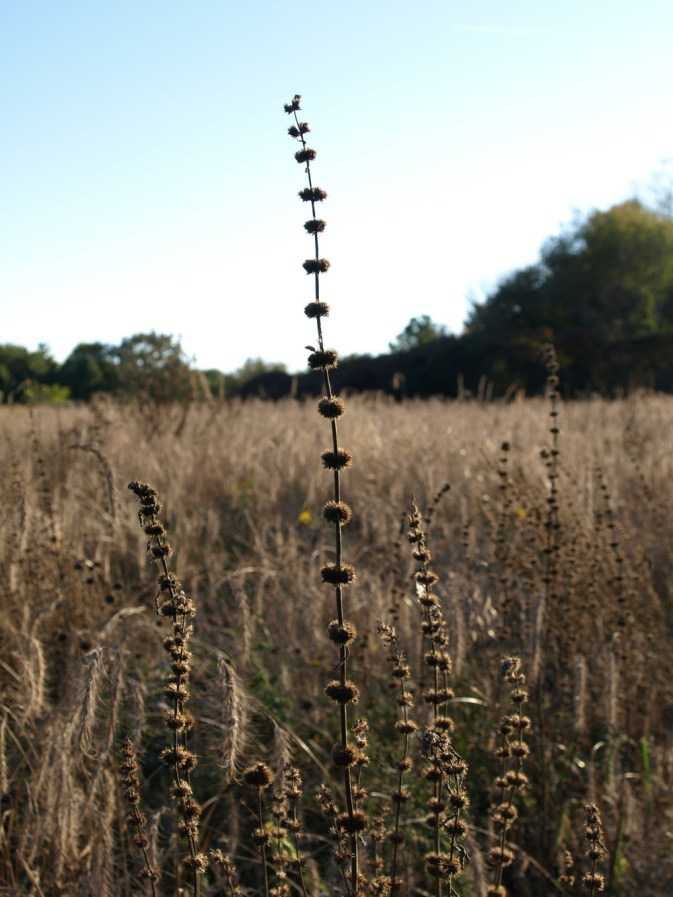 October in the native prairie at Fenner Nature Center