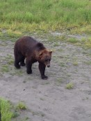 Grizzly bear at the Alaska Wildlife Conservation Center.