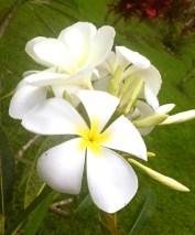 Glorious aromatic frangipani