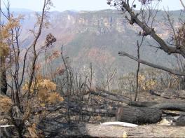 Grose Valley Kurrajong-aftermath-at-Govetts-Leap-20061209