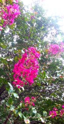Crepe Myrtle up close